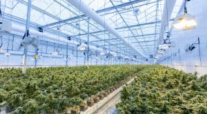 La elevada huella de carbono  que genera la industria del cannabis