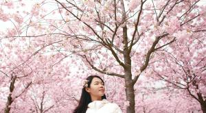 Las impresionantes floraciones de cerezos en Japón se adelantan este año
